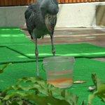 掛川花鳥園のハシビロコウ「ふたば」さんが餌の魚を食べようとしてるけど上手に食べられない様子、何回も挑…