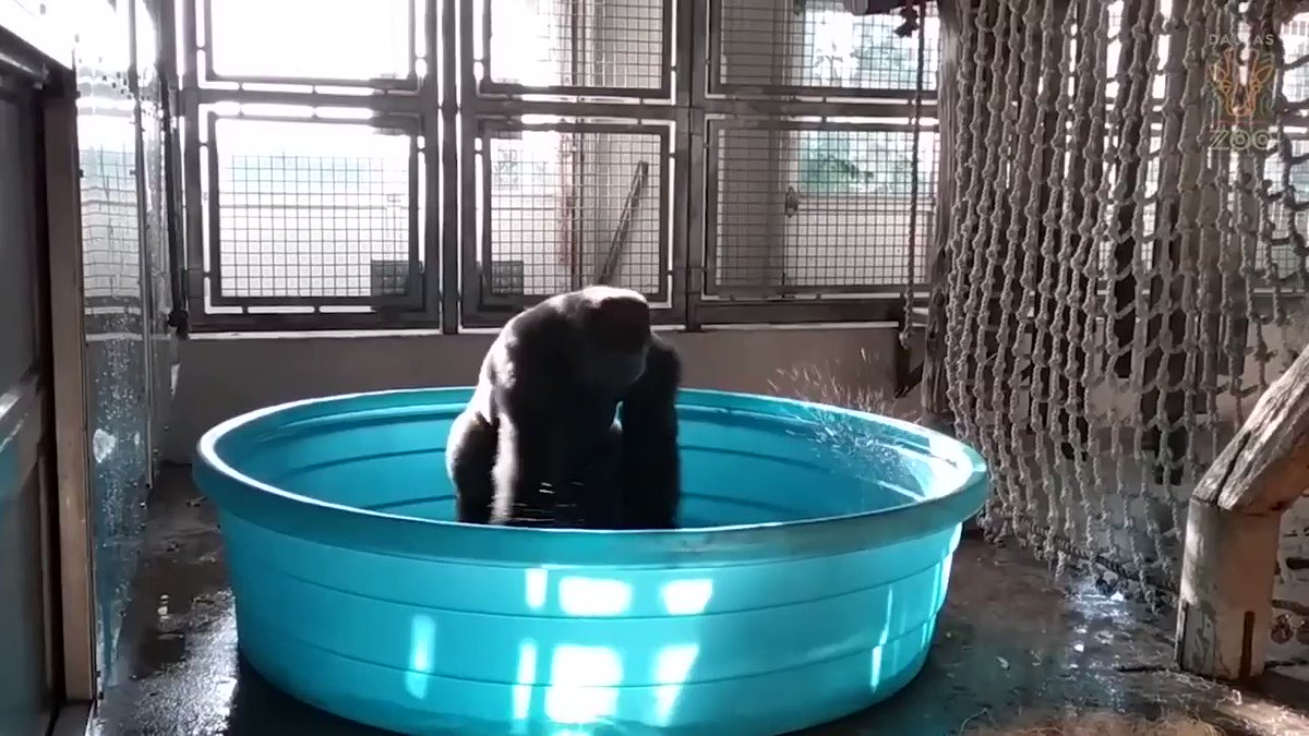 it's super important that you watch this gorilla bathe-dancing to maniac. (vid by @bobhagh)