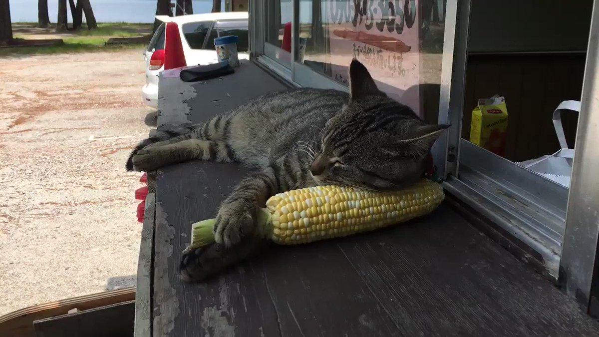 そか!ひんやりしてて気持ちいいのか!水枕みたいなもんなのかー。んー、お昼はとうもろこしの予定だったのにー。非情になってみるかっ!! pic.twitter.com/YqoAmN2buV