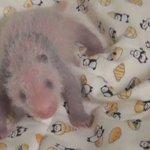 ではここで、このたびメスと判明したジャイアントパンダの子の昨日のようすを見てみましょう。黒い模様がう…