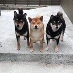 何がなんでも写りたいのだ #柴犬 #shiba pic.twitter.com/uhH6fv7QNt