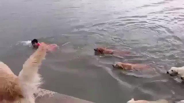 ご主人が溺れていると勘違いして助ける犬たち