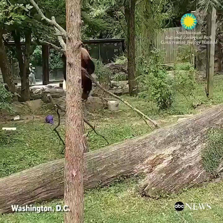 This is how nearly 2-year-old giant panda Bei Bei spends summer Fridays at the Smithsonian National Zoo. http://abcn.ws/2tyRUTn