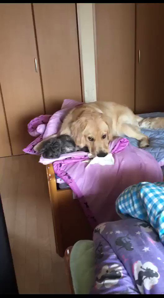 猫の話じゃない  実家の犬が猫を枕にしているそうです pic.twitter.com/m7A1cuuqD9