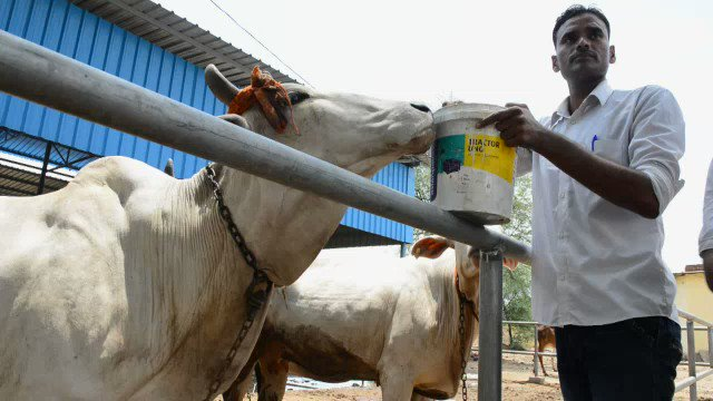 Holy cow urine: some in india believe drinking it can cure