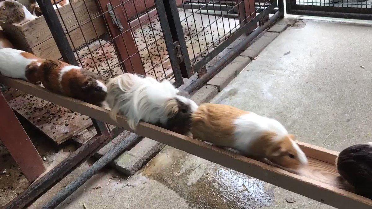 帰宅ラッシュ(^^;)お部屋の掃除が終わり、橋を渡って帰ります❗️ #市川市動植物園 #モルモット pic.twitter.com/XbIDTbFXMe
