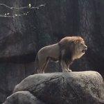 「ガオー」の後の「ニャー」に拍子抜けw大きな猫の鳴き声比較がこちらw