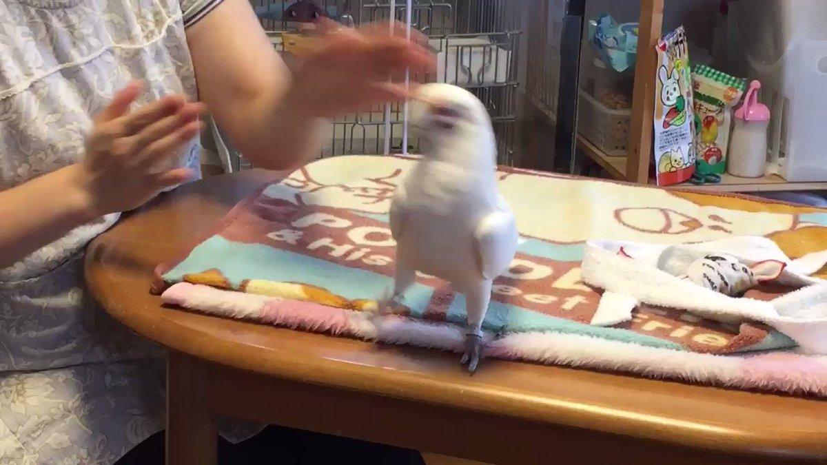 アカビタイムジオウムの幸太郎君! ダンス!ダンス! https://t.co/F...