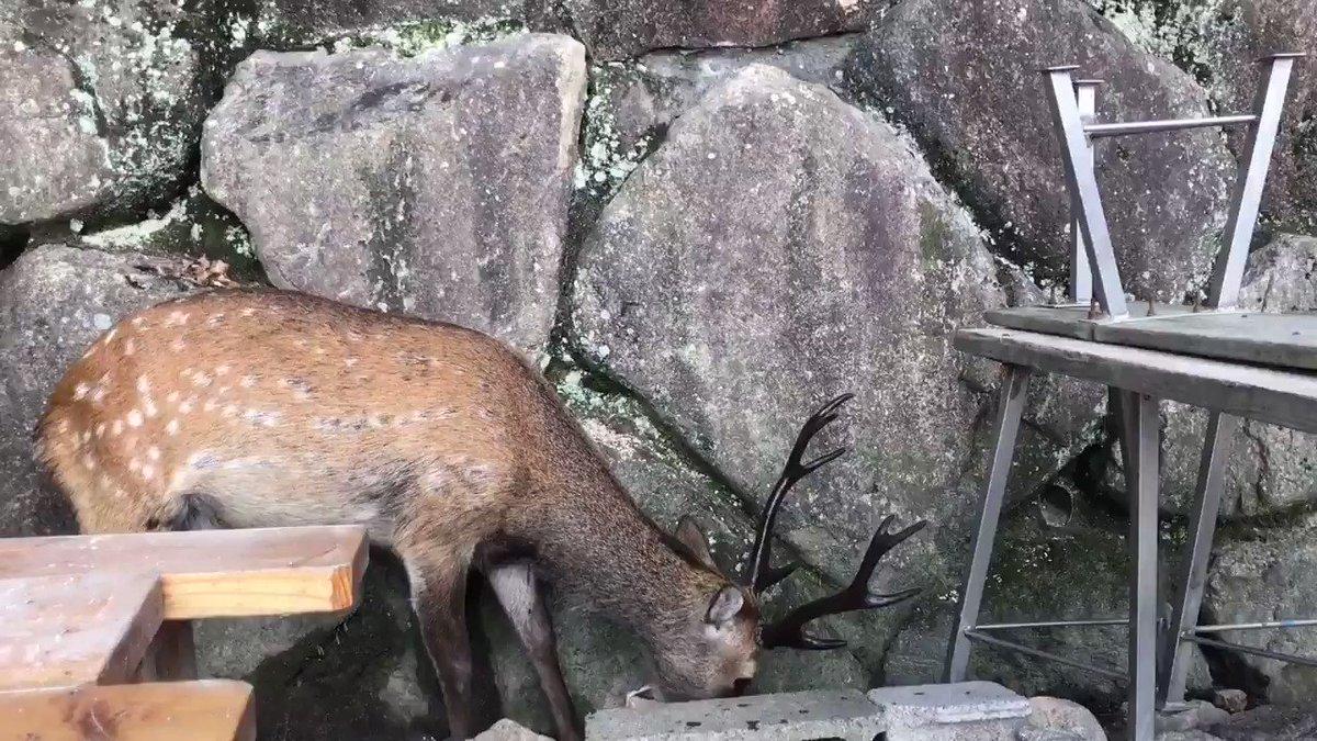 宮島にいた何でも無心で食べるシカを眺めてる時の僕です(音声あり https://t.co/gjCNu3vXxe
