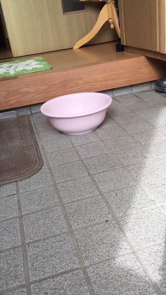 水槽の掃除中に桶に入れておいたら頑張って出ようとするうちのカメめちゃくちゃかわいいから見て https://t.co/fBt1ZUfwpp