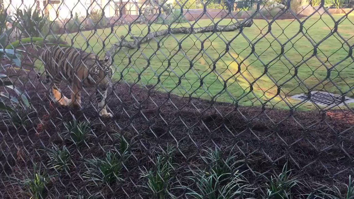 He's officially @MikeTheTiger, says Dr. Baker. He's out in his new habitat to start the @lsu semester! #LSU https://t.co/w2zzyn2rQW