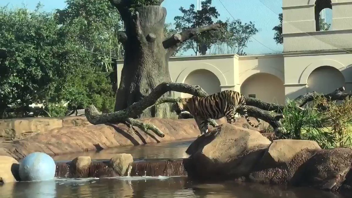 Introducing the new @MikeTheTiger, #MikeVII!  https://t.co/fVOxXi6Ohx...