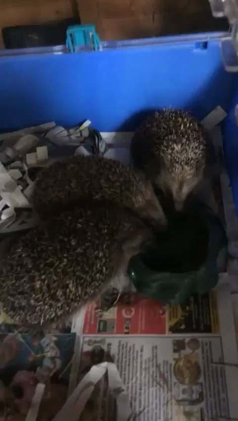 #hedgehogs are adorable but they need our help. Listen to @radioverulam 7pm Wednesday.