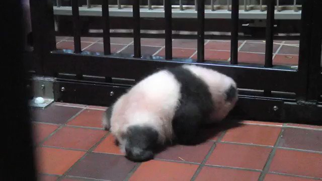 ③子は前足に力を入れて体を起こせるようになってきましたが、まだ後ろ足に充分な力が入らず、四肢で立ち上がれるのはもうちょっと先ですね…東京ズーネット・上野動物園のジャイアントパンダ最新記事をごらんください☞tokyo-zoo.net/topic/topics_d… pic.twitter.com/qqIepcvDzY