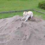 なにこれ可愛すぎる砂場で発狂して、その後我に返る犬