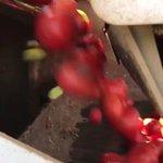 高速選別トマトの爽快感がすごい?めちゃくちゃ速い!