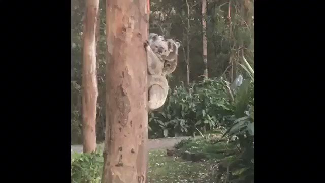 So rare and incredibly awesome to see twin newborn koalas, with their Mum, at #gwinganna. https://t.co/tR6A8cD16K