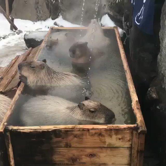 温泉に浸かるカピバラ
