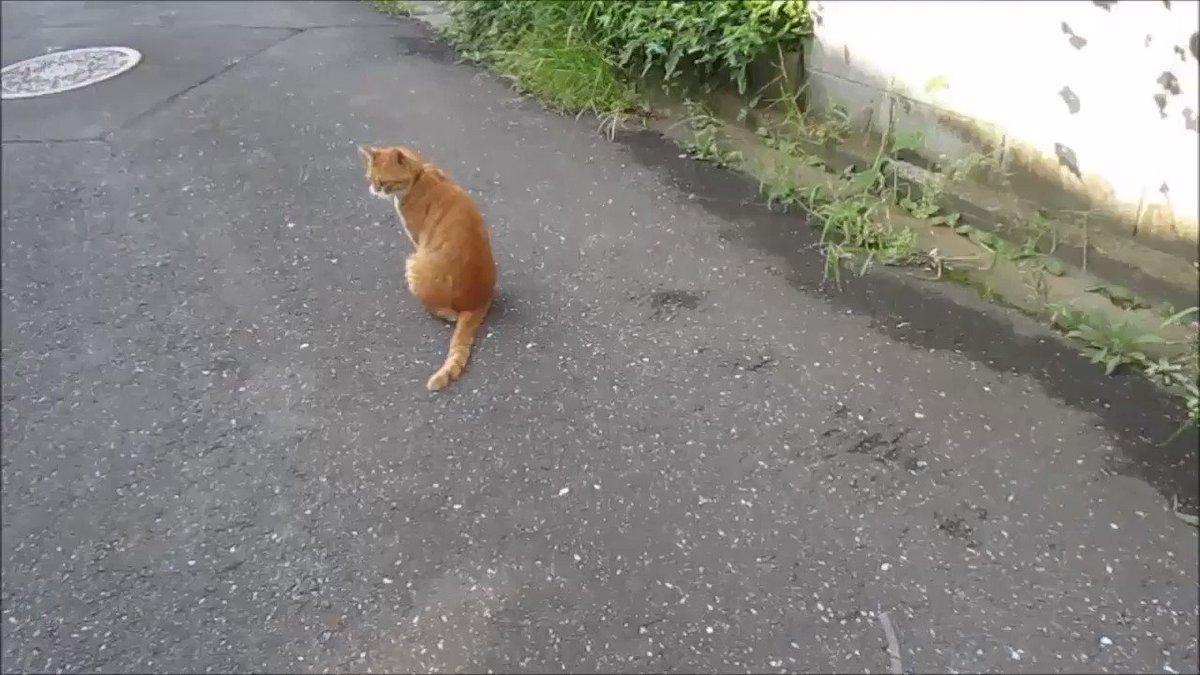 散歩時、めっぽう気さくに近づいて来て悩殺ポーズを次々と繰り出す猫に戸惑いを隠せないおじいわん pic.twitter.com/wyV22OD47s