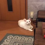 白猫ちゃんがご乱心ご乱心の理由はドアノブを縦にされちゃったから?