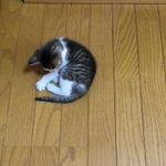 尻尾の存在に気づいた猫が可愛すぎその場でぐるぐる回る猫に癒される