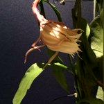 昨晩、仕掛けておいたカメラを回収しましたー。撮れたてホヤホヤ!一年に一度だけ咲く花の一生を #タイム…
