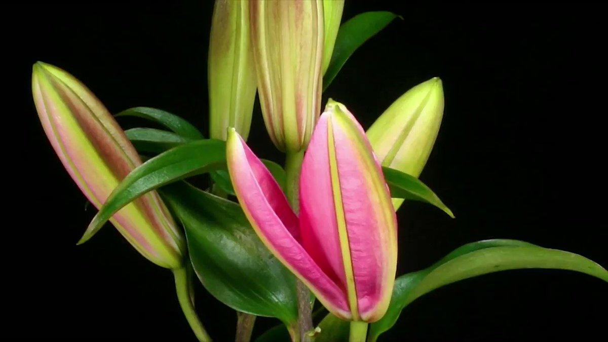 Картинки анимации цветок раскрывается, онлайн видео