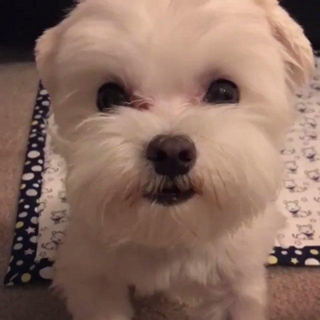 белые собачки гифка ухи