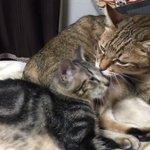 アーーー!!!初めて毛づくろいしてあげたーー!!イサム、親猫に毛づくろいされたことないからか抵抗して…