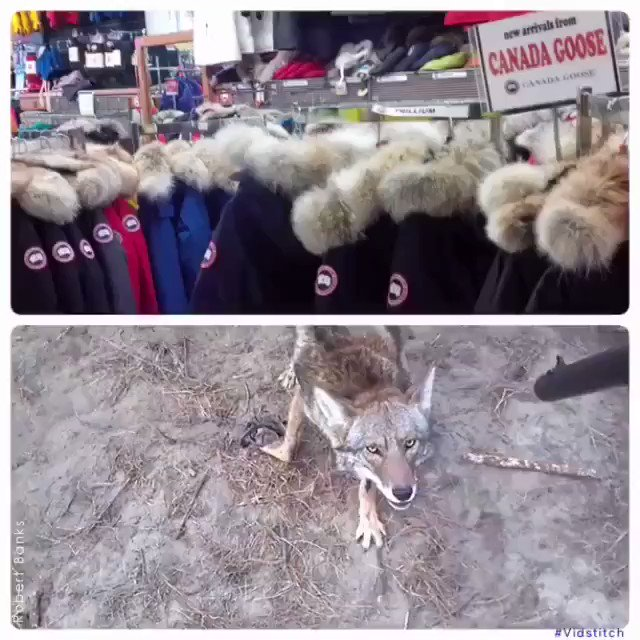 RT @peta2: GRAPHIC: THIS is what you could be paying for when you buy a Canada Goose jacket.  [via Robert Banks] https://t.co/QBvJQ9JnMs