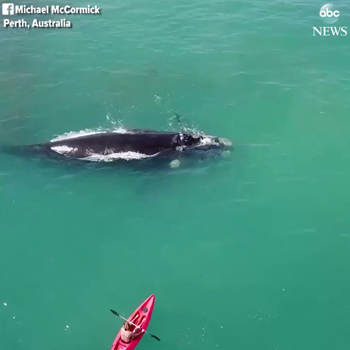 Two kayakers get up close and personal with a whale and her calf in Perth, Australia. https://t.co/kFwo2znqck https://t.co/I6x0dv67IQ
