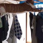 干したばっかりの洗濯物を叩き落とす猫ぐいぐい行く猫が可愛すぎる