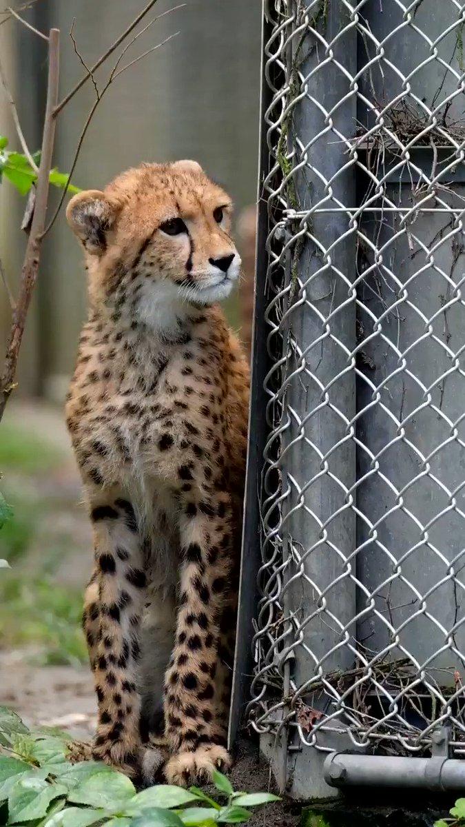 吠えます。心臓の弱いかたはご注意ください。 #多摩動物公園 #チーター pic.twitter.com/Xj85gma1cR