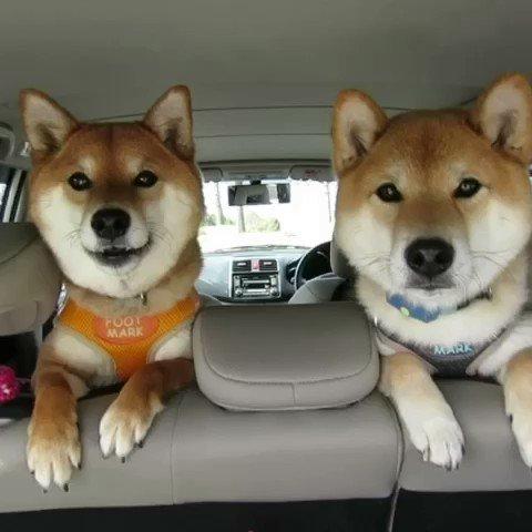 柴犬の主張(*^^*) 秋はお喋りが楽しいです♪ #カコムービー