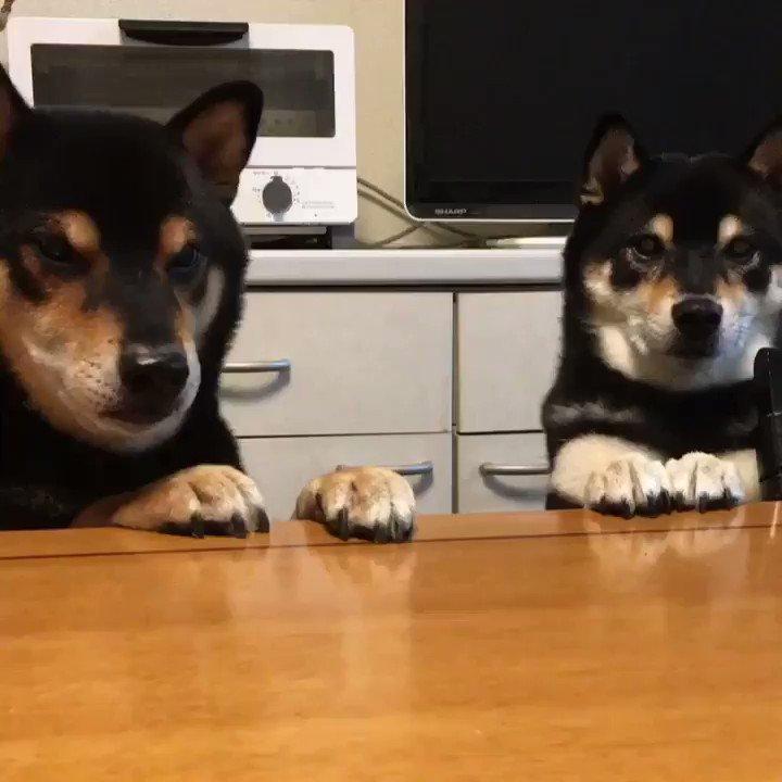 必ずセンターに出てくる柴犬#柴犬 #shiba pic.twitter.com/T4tb63rFCk