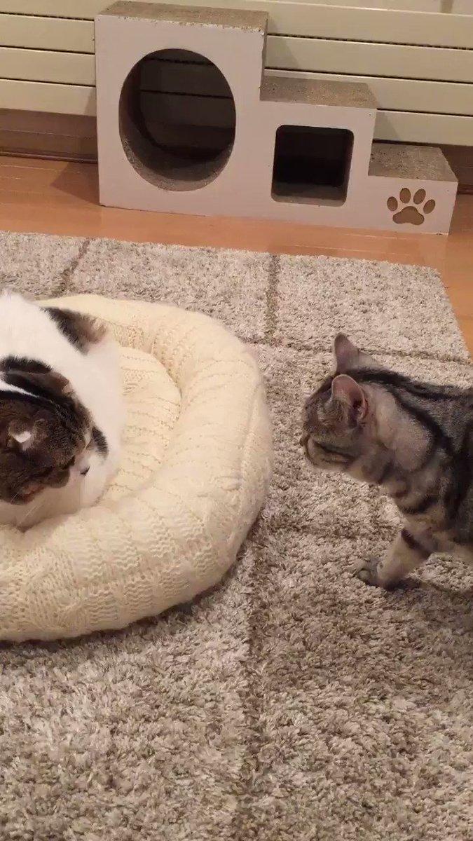 高速空振り猫パンチシリーズ『おニューのベッド争奪戦』 pic.twitter.com/BN25qvoJxj