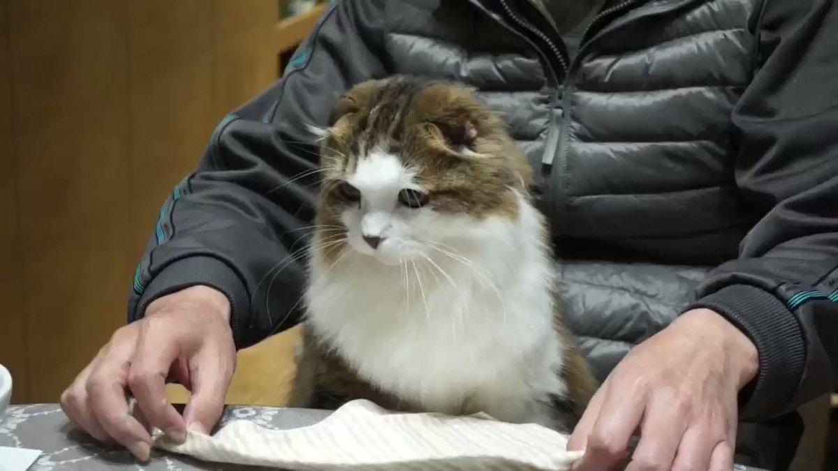 ご飯の時、自分からスタイを着けに来るのが可愛い♪#猫 #スコティッシュフォールド pic.twitter.com/lMRZRcgthS