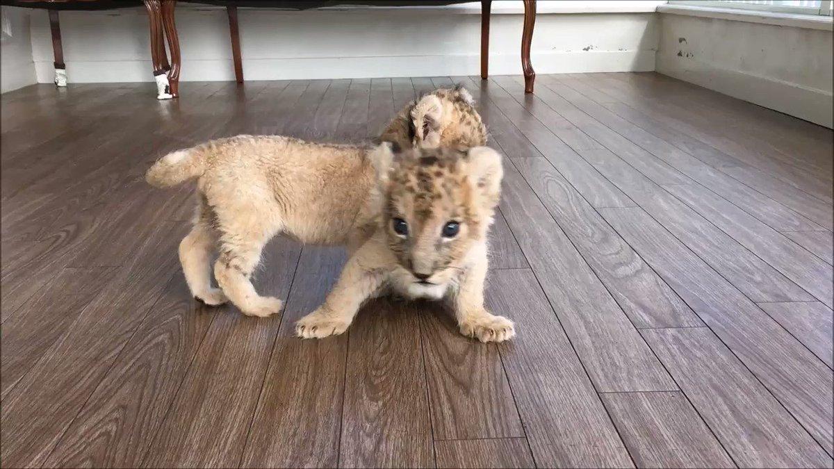 こっちに来たい仔と、それを阻止したい仔🐱 せめぎ合いをご覧ください(笑) #ライオン #赤ちゃん #アフリカンサファリ