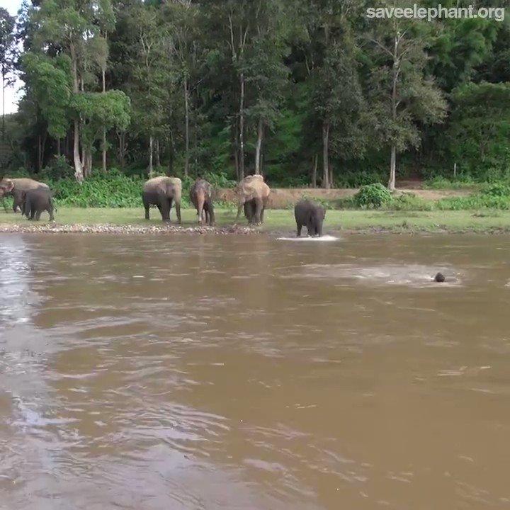 泳いでいる人が溺れていると勘違いし救助に向かう象
