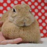 たぷたぷたぷいやんセクシー! モッフモフでかわいいウサギさんの胸元を「たぷんたぷん」する動画が癒され…