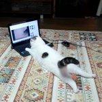これがまたいい猫動画見てるんだよ猫動画マジ最高ニャ~ YouTubeを見る猫ちゃんのごろ寝が休日のぼ…