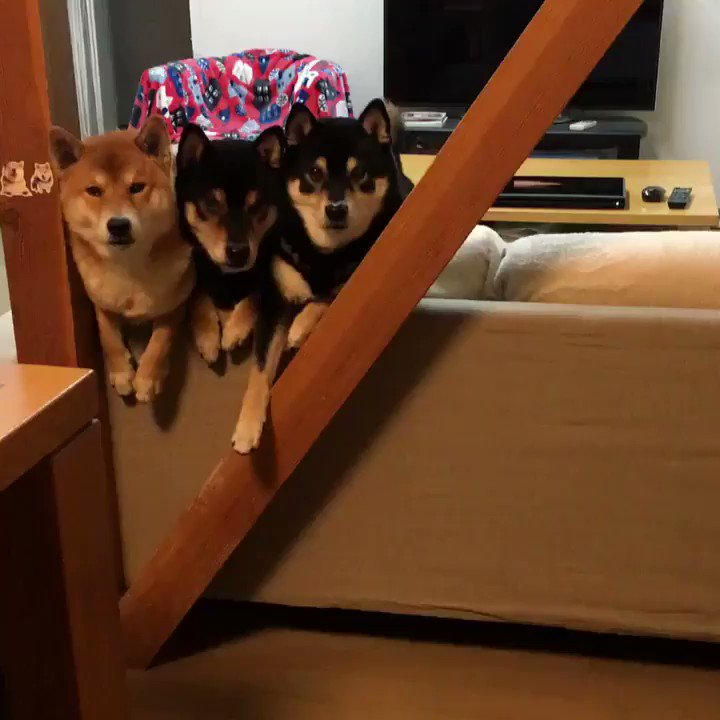 RT @yumatsuyamas: 片側に集まる柴犬 #柴犬 #shiba #動かない動画 https://t.co/cihSNUUk2O