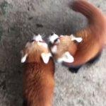 レッサーパンダ耀&輝君2頭同時哺育の様子です。もう少しで卒乳予定!この光景もそろそろ見納めです。2頭…