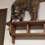 この場所に登ったらいつもこのポーズ(笑)愛しすぎ(笑)#猫画像 ✨ pic.twitter.com/…