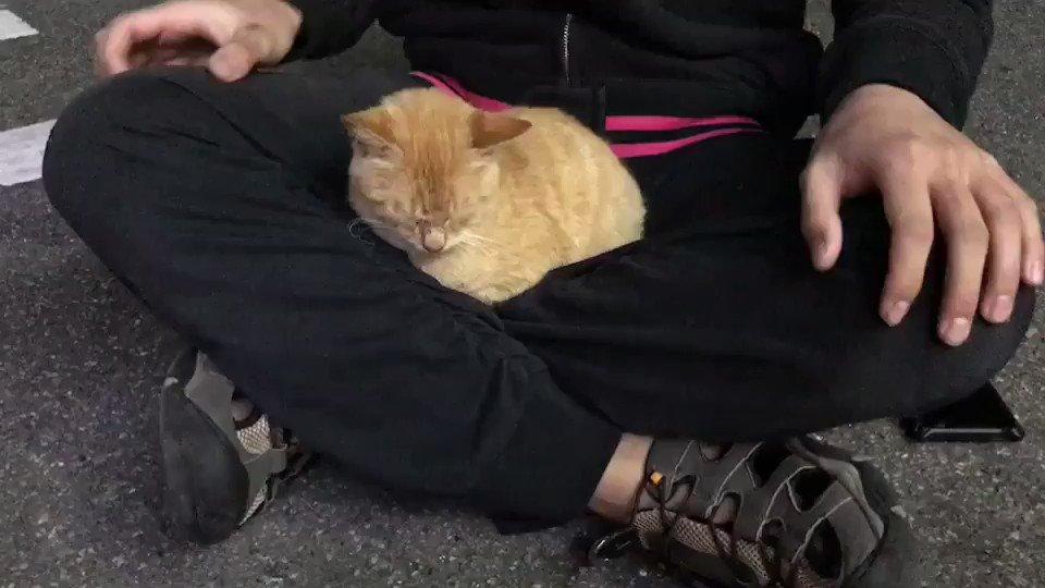 膝の上からおろしてもすぐ戻ってくる甘えん坊の猫ちゃんが可愛すぎるから皆見て