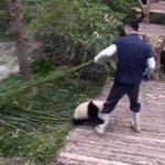 飼育員さんが大好きすぎるパンダ!離されても離されても足元に戻って来ちゃう姿が可愛い!