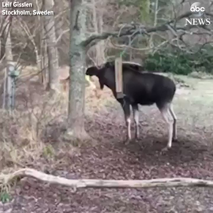 RT @ABC: Man works to free moose that got stuck in a swing attached to a tree in Sweden. https://t.co/LaVAadxR1b https://t.co/DYC2kasdpp