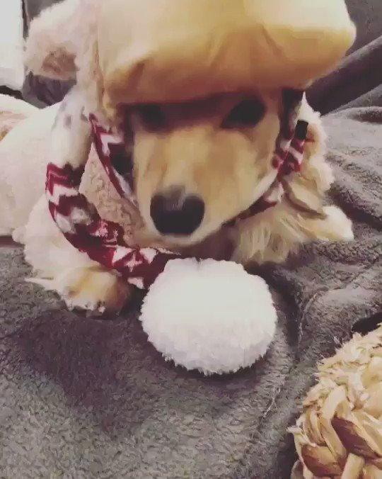 メリークリスマスイブ Merry Christmas Eve♪  #duchshund #chihwahwa #ちわっくす #みにちゅあだっくすふんど #クリスマスイブpic.twitter.com/O8xuUwhEA6