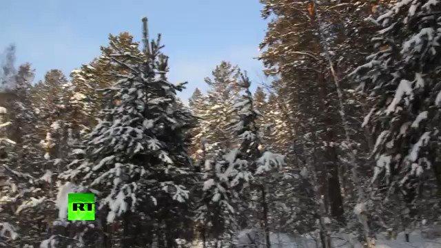 Çam ağaçlarını korumak için Sibirya soğuğunda soyundu