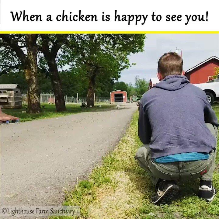 RT @TheHumaneLeague: RT if you NEED to befriend a chicken! 💚🐔💚 https://t.co/1zJrvrhEW0